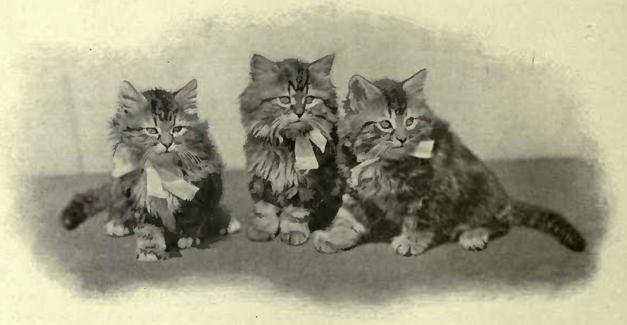 A TRIO OF TABBIES (Photo: C. Reid, Washaw)