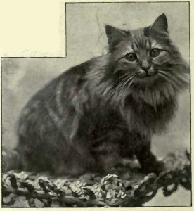 "MISS CHAMBERLAYNK´S ""BELVEDERE TIGER."" (Photo: J. Atkins, Upper Norwood.)"