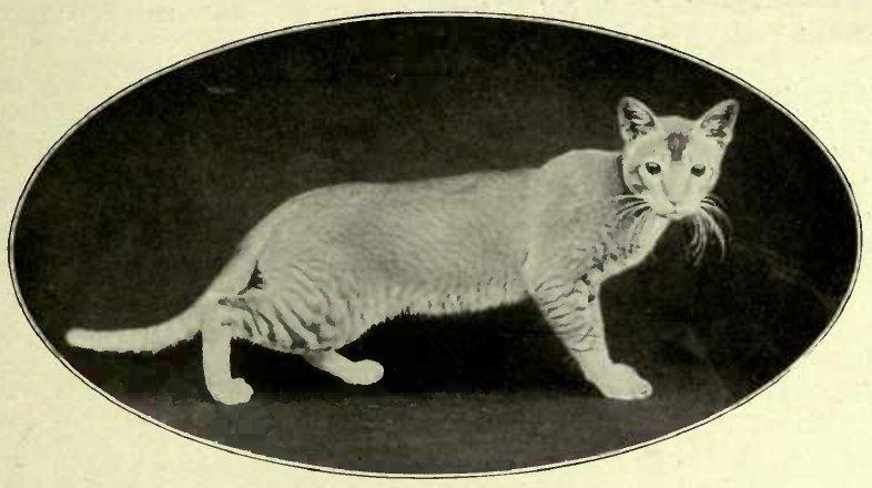 BURMESE CAT (Photo: E. Landor, Ealing)
