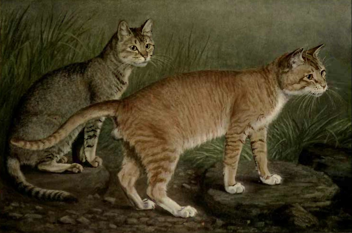 ABYSSINIAN AND INDIAN CATS (From a Painting by W. Luker, Jun.)