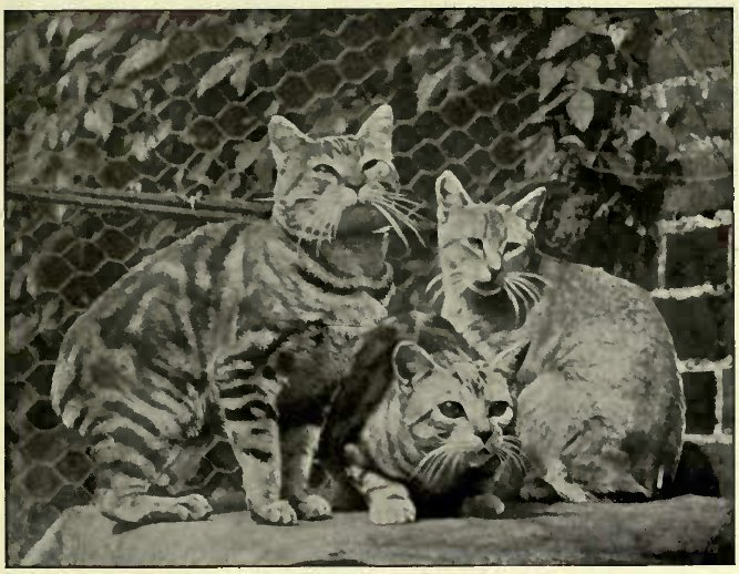 "MANX AND ABYSSINIAN (""SEDGEMERE PEATY"" ON THE RIGHT) (Photo: A. R. Dresser.)"