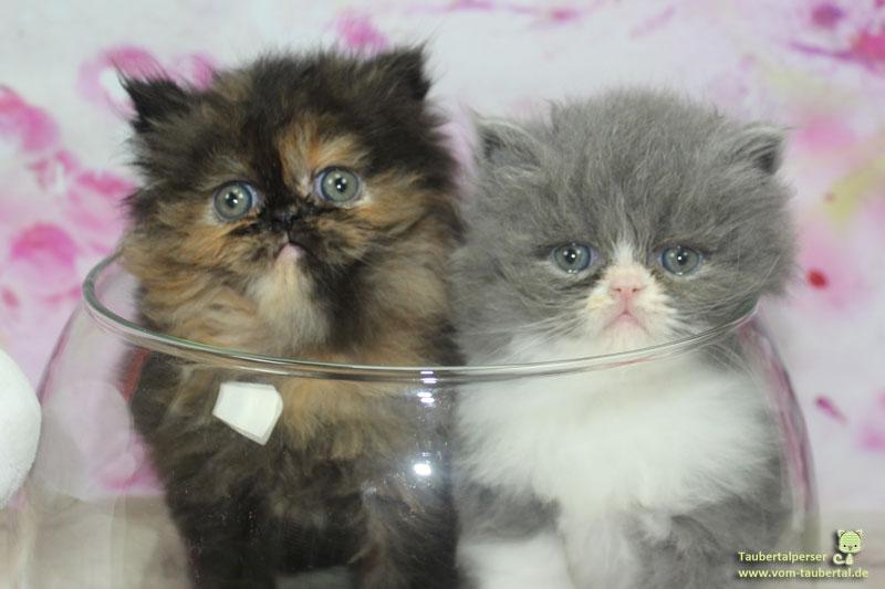 Kleine Perserkätzchen in Glasschüssel