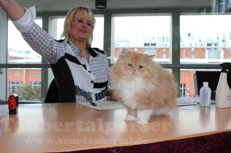 Perserkatze auf dem Richtertisch bei einer Katzenausstellung