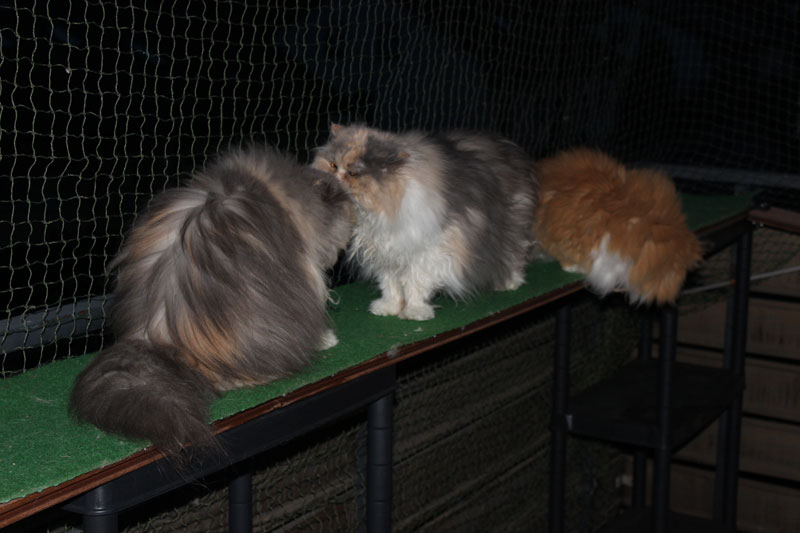 Taubertalperser, Sozialverhalten Katzen, Katzenverhalten, Rangordnung, Mehrkatzenhaushalt