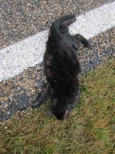 Auch ein sehr junges Kätzchen das Opfer des Straßenverkehrs wurde