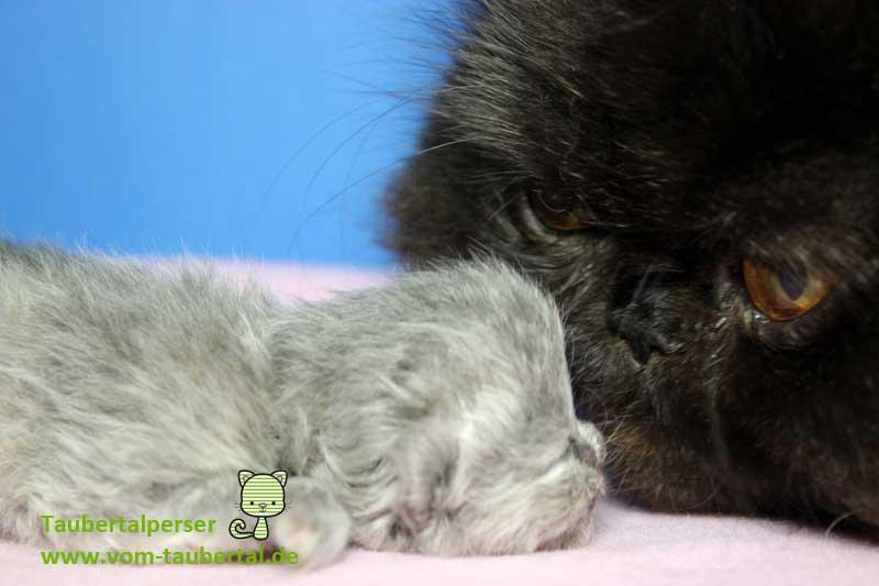 züchten, Taubertalperser, Katzenblog, Information rund ums Katzenzüchten