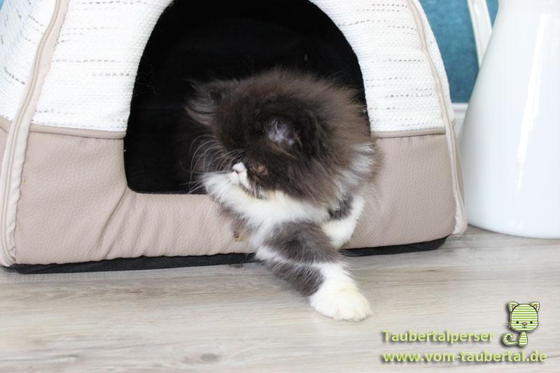 Katzenblog, Taubertalperser, Katzen züchten, Informationen zur Katzenzucht, Katzengeburt