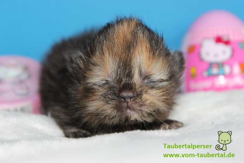 Katzenbabies, rund um die Katzenzucht, Taubertalperser, Katzenzucht, Katzenblog