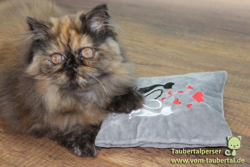 Katzenzucht, Taubertalperser, Katzenblog, Informationen, Kittenaufzucht