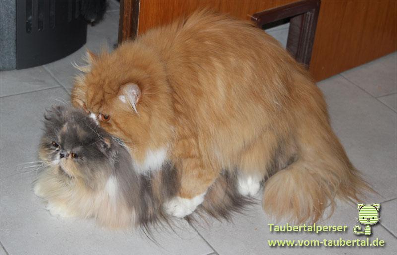 Zeugung Deckakt Taubertalperser, Katzenblog, Informationen Katzenzucht
