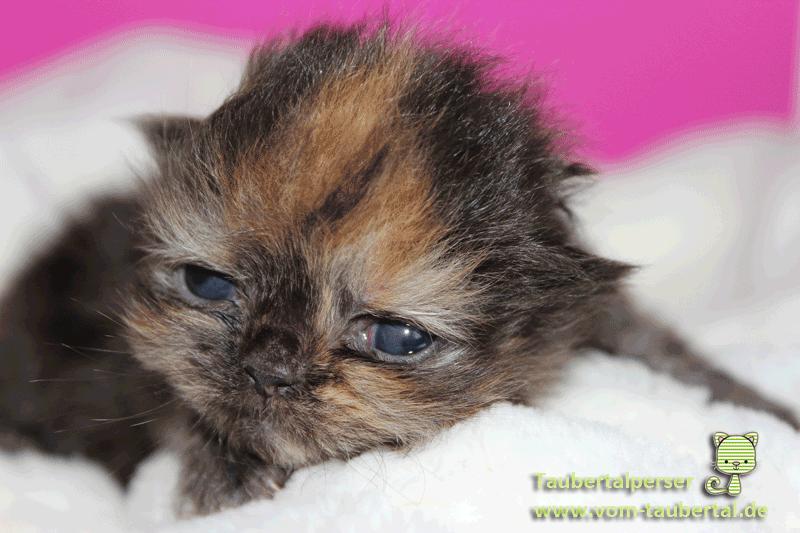 Kitten, Perserkatzen, Kittenaufzucht, Katzenzucht, Katzenblog, Taubertalperser