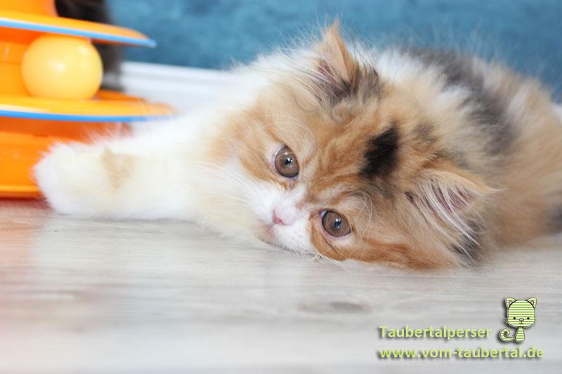 Katzenzucht, Taubertalperser, Katzen, Kittenaufzucht, Katzenblog