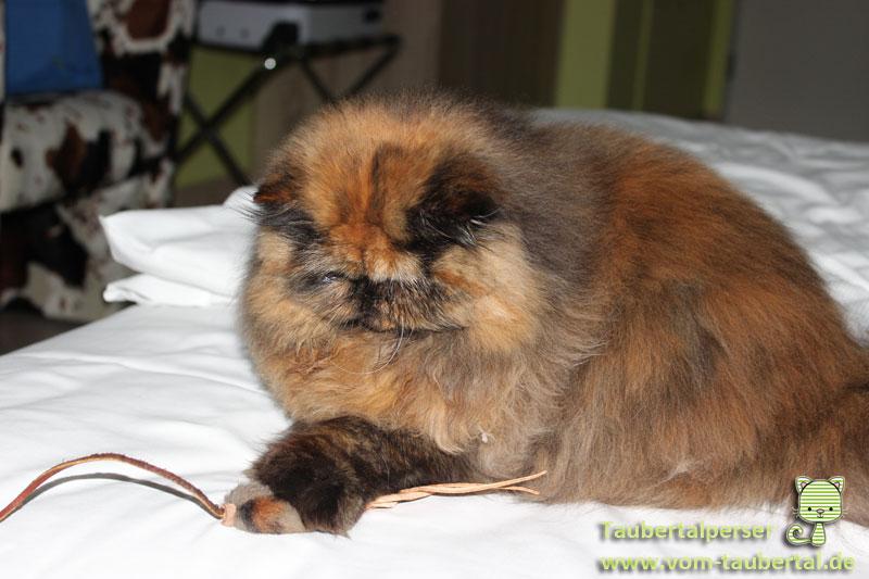 Katzenausstellungen, Taubetalperser, Khalessei, Hotelzimmer