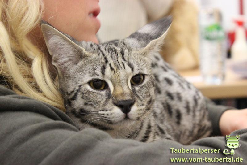Katzenausstellungen, Taubertalperser, Savannah