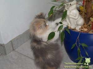 Taubertalperser, Katzenzucht, Zucht, Perserkatzen