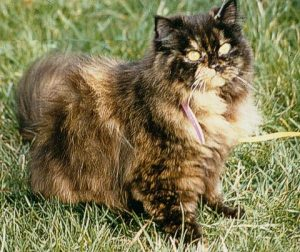 Taubertalperser, Zucht, Zuchtende, Katzen