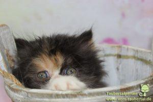 Taubertalperser, Katzen, M-Wurf, Zucht, Zuchtende, ausgezogen
