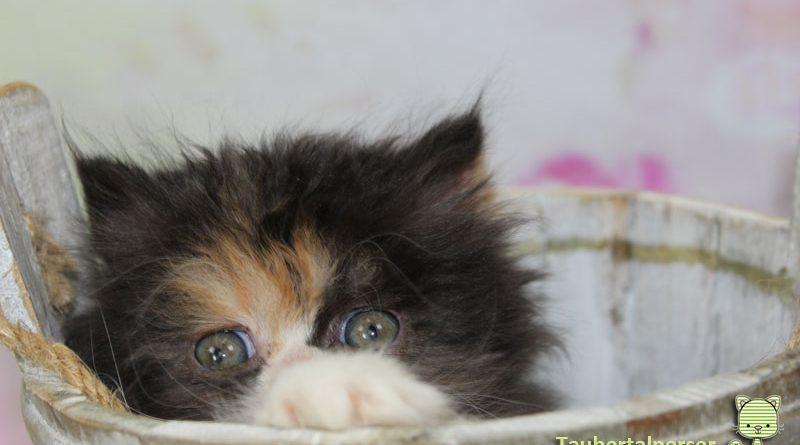 Taubertalperser, Katzen, M-Wurf, Zucht, Zuchtende