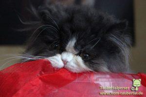 Taubertalperser, Katzenzucht, Perser, Katzen