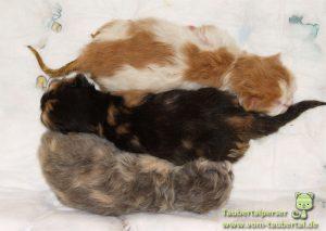 Taubertalperser, Katzenzucht, Katzen, Perser, Catttery