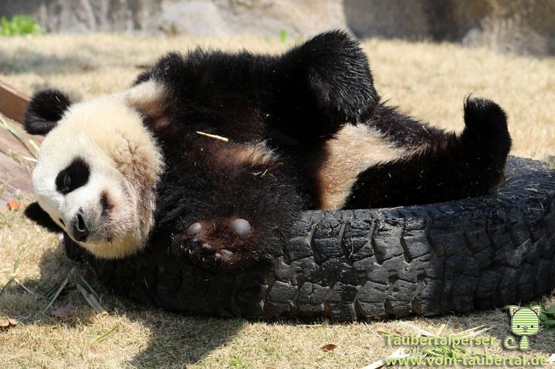 Shanghai, Taubertalperser, Giant Panda, China, Wild Animal Park