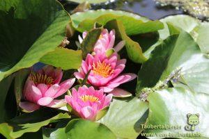 Gartenlust, Taubertalperser, Scheurich, Seerosen, Natur