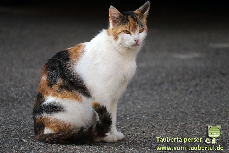 Rasse, Frage, Taubertalperser, Was für eine Rasse ist meine Katze