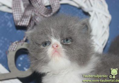 Taubertalperser, Katzenblog, Marshmallow, Perserkatzen