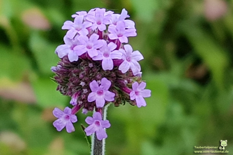 ungiftige Balkonpflanzen, ungiftige Pflanzen für Katzen, ungiftig, Pflanzen, Katzen, Gartenpflanzen, Eisenwurz