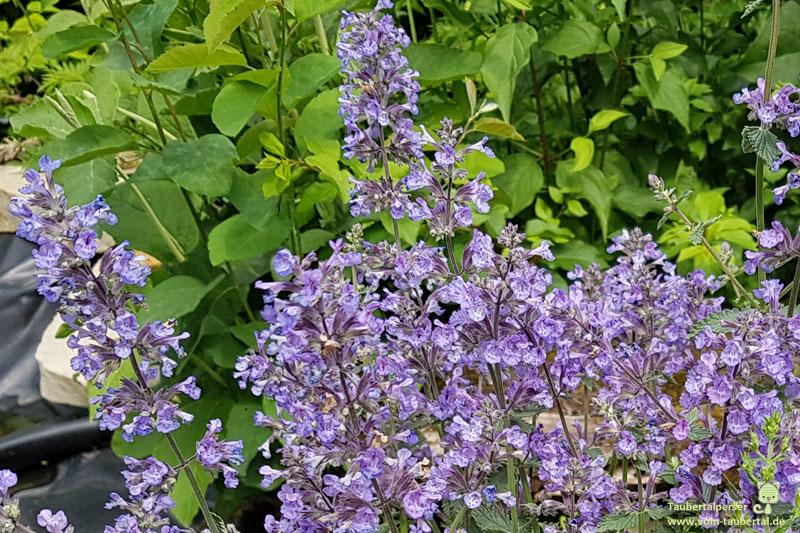 ungiftige Balkonpflanzen, ungiftige Pflanzen für Katzen, Männertreu, ungiftig, Pflanzen, Katzen, Gartenpflanzen