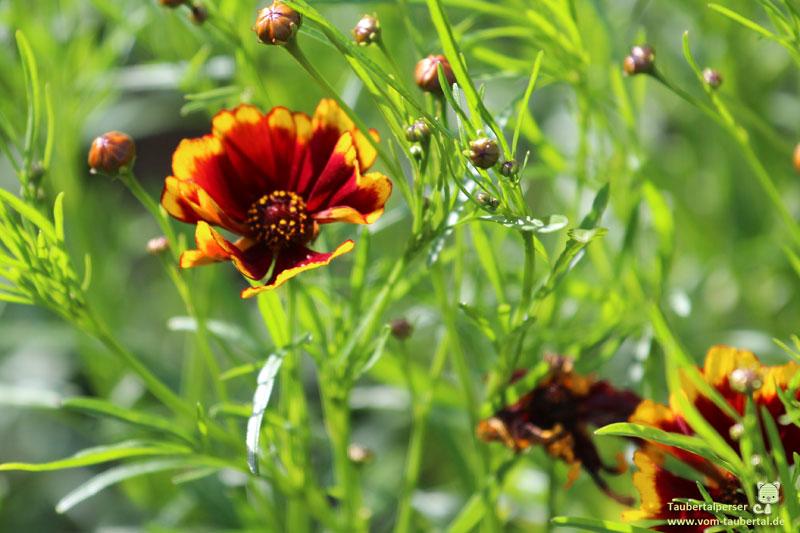 ungiftige Balkonpflanzen, ungiftige Pflanzen für Katzen, Männertreu, ungiftig, Pflanzen, Katzen