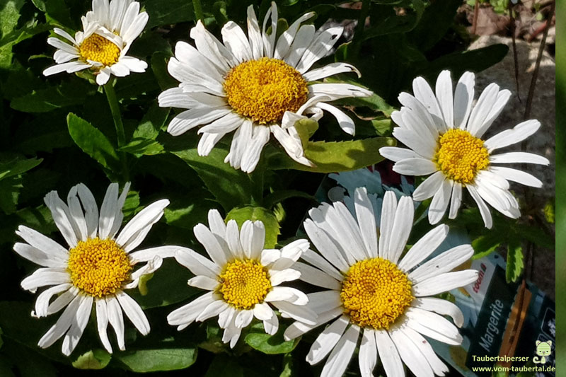 Gartenpflanzen, ungiftige Balkonpflanzen, ungiftige Pflanzen für Katzen, Margerite, Taubertalperser