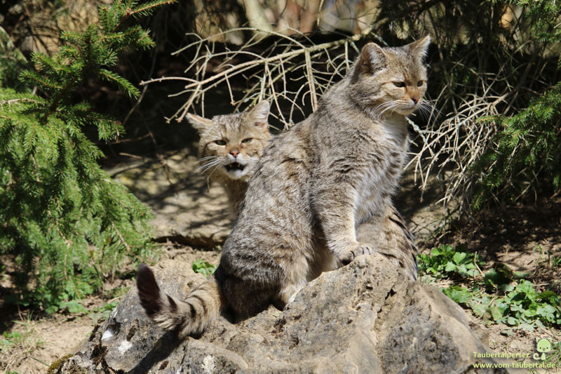 Wildkatze, Felis silvestris silvestris, Taubertalperser, Katzenblog, unabhängiger Blog, Informationswebseite