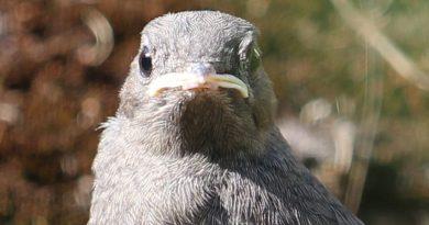 Gartenvögel, Rotschwänzchen, Taubertalperser, unabhängiger Katzenblog
