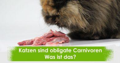 Obligate Carnivore, Taubertalperser, Katzeninformationen, Katzeninfoseite, Katzenblog,