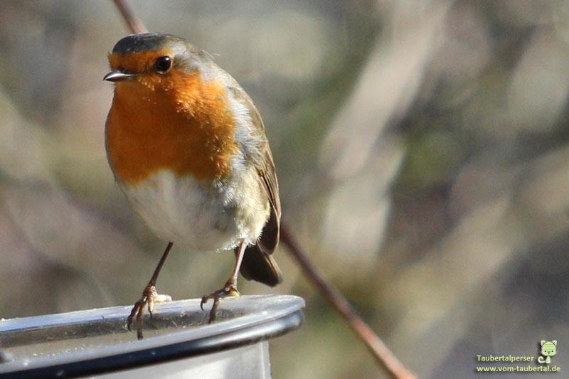 Rotkehlchen, taubertalperser, Garten, Wildvögel, Ganzjahresfütterung