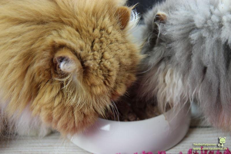 Tasty Cat Terrine, Katzenfuttertest, unabhängiger Futtertest, Taubertalperser, artgerechte Katzennahrung