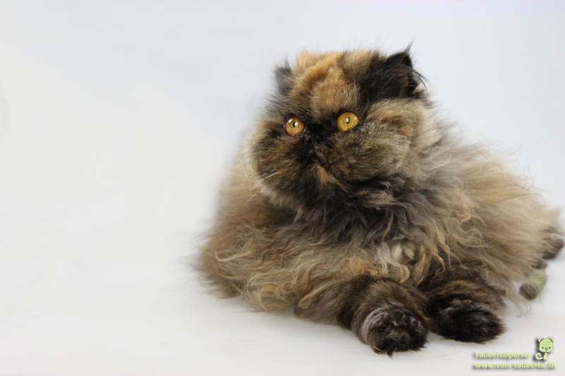 Khalessi, Taubertalperser, Katzenfeiertage