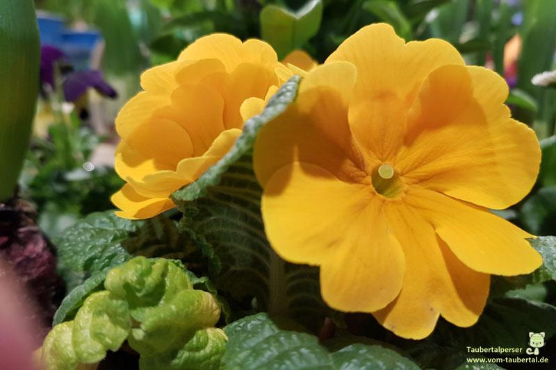 Primeln, giftige Blumen für Katzen