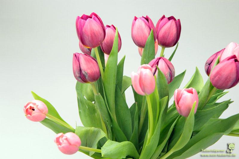 Tulpen, giftige Pflanzen für Katzen