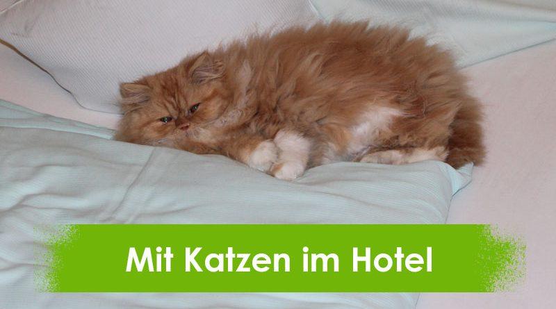 Katzen im Hotel, Katze, Perserkatze, Taubertalperser