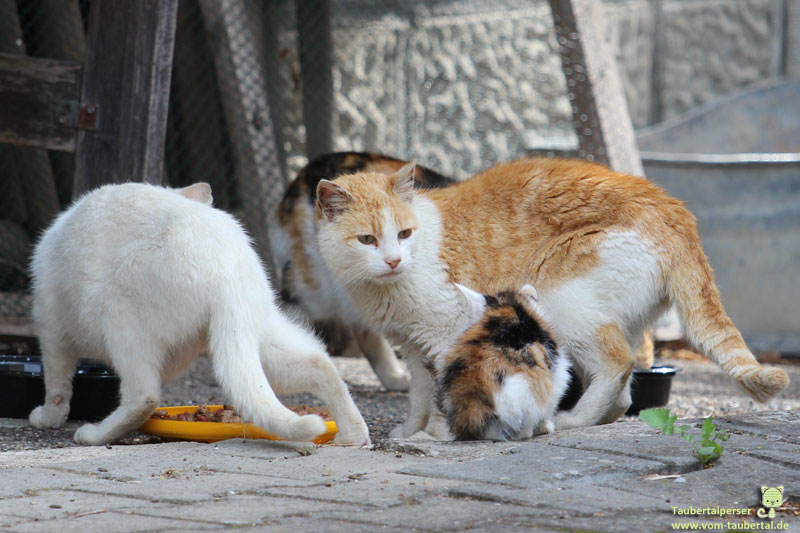 Verwilderte Hauskatzen, Infobeitrag, Info, Aufklärung, Katzenblog
