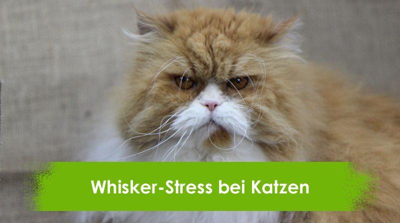Whisker Stress bei Katzen, Taubertalperser, Katzenblog