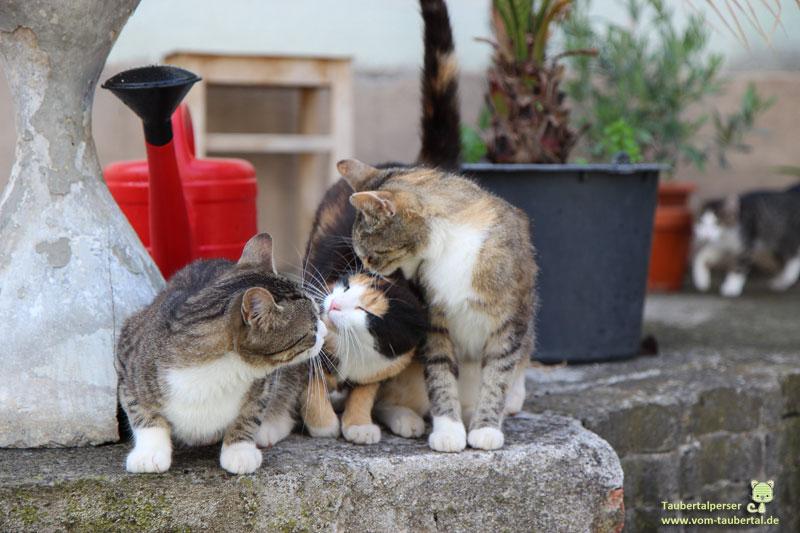 Freigang, Katze, Welt, Gefahr, Taubertalperser, Katzenblog
