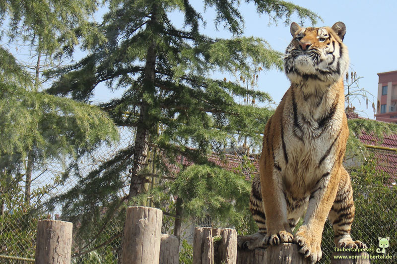 Global Tiger Day, Internationaler Tag des Tigers