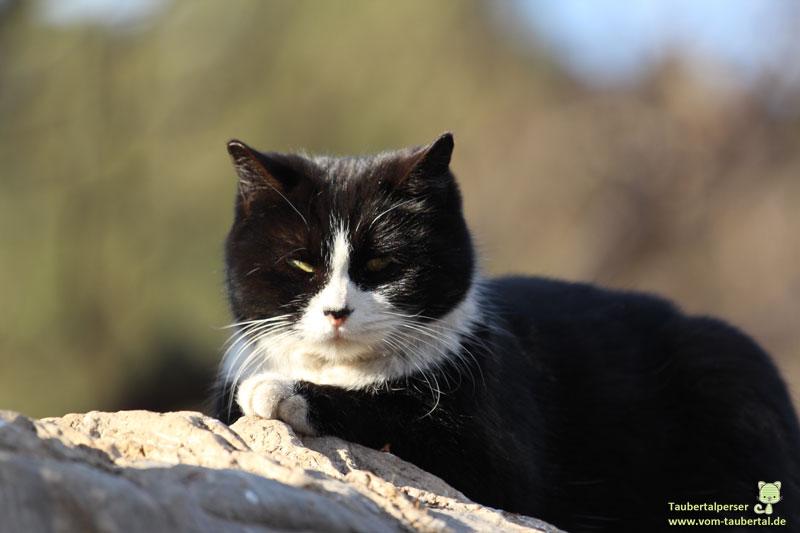 schwarzweiße Katze beim Sonnenbaden, Katzenfeiertag, Taubertal.erser