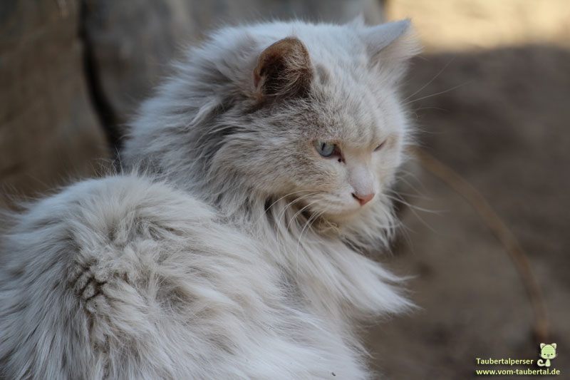 Langhaarkatze, Katzenfeiertag, Taubertalperser