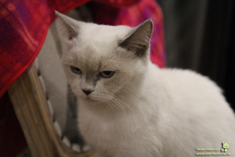 Katze, Taubertalperser