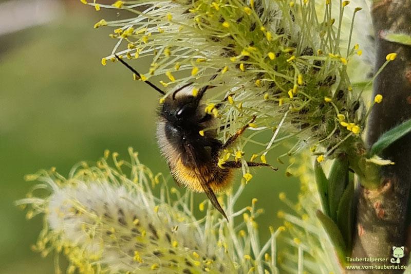 Biene, Palmkätzchen