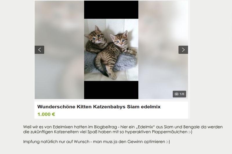 Katzenverkauf, Edelmix, Siam x Bengal